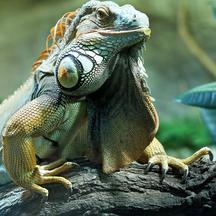 A Green Iguana is seen at the Bergzoo in Halle/Saale, Germany, 15 January 2013. Photo: Jan Woitas/DPA/PIXSELL