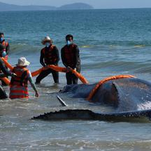 A whale stranded on the beach is rescued in Florianopolis, Santa Catarina