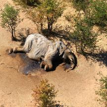 A dead elephant is seen in this undated handout image in Okavango Delta